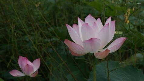 wallpaper pink lotus pink lotus 2 wallpaper flower wallpapers 405
