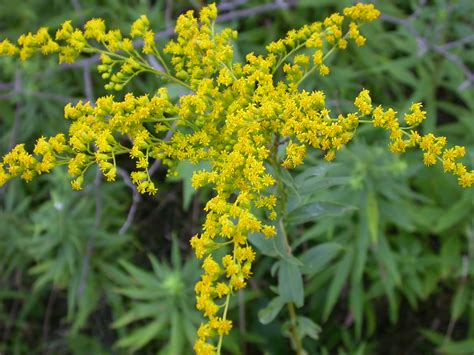 franklin county pa gardeners goldenrod and ragweed