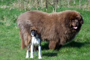 These 15 insanely enormous dogs remind us that beauty can come with