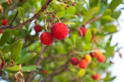 madrone berries wild fruits   strawberry tree rungis