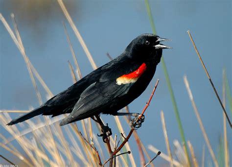 tri colored blackbird tricolored blackbird agelaius tricolor wiki display