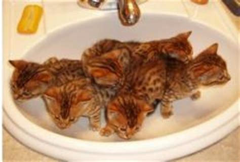 how much do breeders make how much do bengal cat breeders make