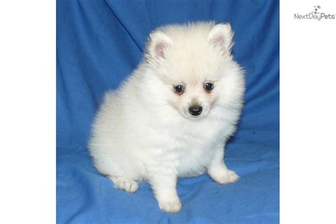 teacup puppies for sale in pa teacup pomeranian puppies sale book covers