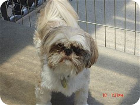 shih tzu denver opie adopted denver co shih tzu mix