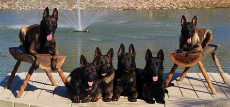 obedience protection dogs