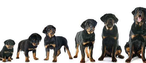 how to tell how big a puppy will be use a puppy growth chart to determine size care community