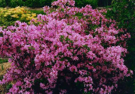 Azela Top 2 landscapes nursery azaleas