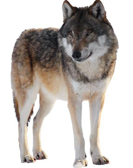 imagenes png de animales lobos animados png buscar con google grupo lobatos
