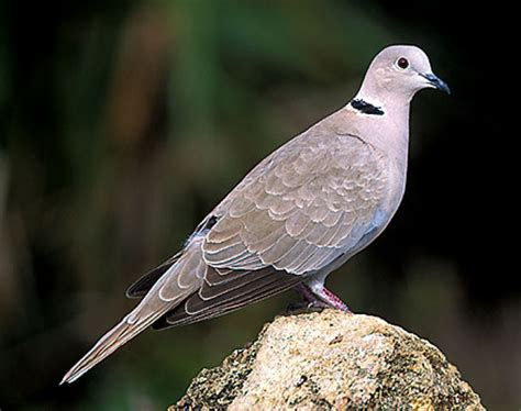 bird species eurasian collared dove