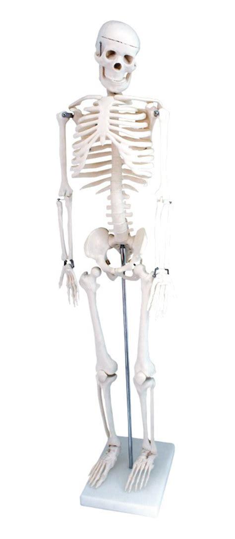 como hacer una maqueta del esqueleto humano venta de maqueta de esqueleto