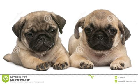 two pugs two pug puppies 8 weeks in front of white stock image image 21996407