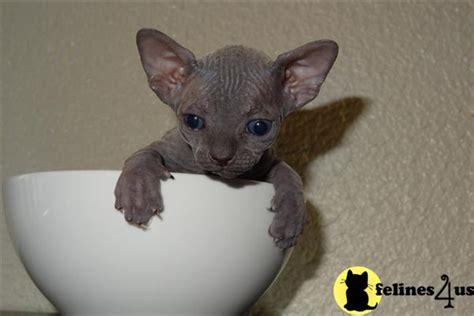 Baby Sphynx Cats   www.pixshark.com   Images Galleries