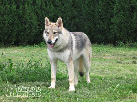 regalo cane lupo cecoslovacco cerco cucciolo lupo cecoslovacco da privato a piacenza