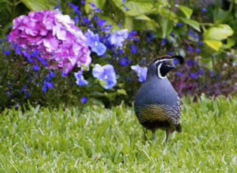 backyard quail backyard quail featured in saqa june online gallery