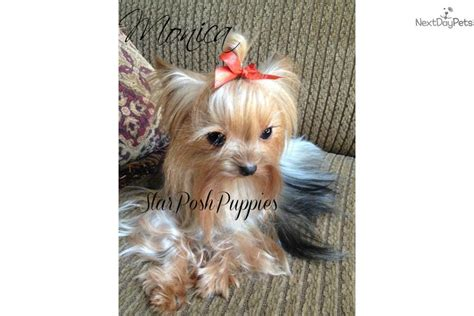 free yorkie puppies in az yorkie yorkies terrier puppies in tucson arizona new breeds picture