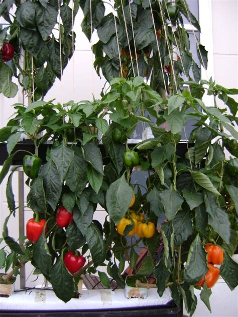 Vertical Fruit Garden Hanging City Gardens Reduce Food Imports My Climate