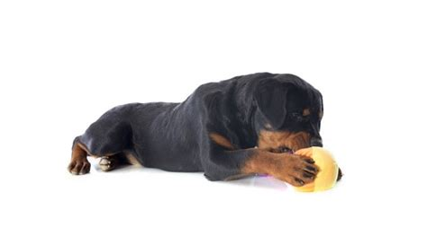 do rottweilers need a lot of exercise do rottweilers need a lot of exercise rottlover