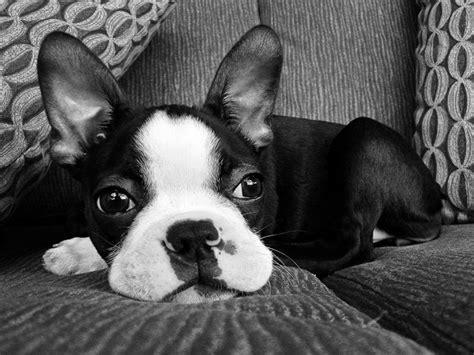 shih tzu and boston terrier mix boston terrier shih tzu mix 1001doggy