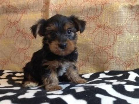 yorkie puppies salt lake city legend is a most playful teacup yorkie puppy animals salt lake city utah