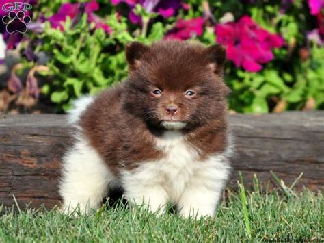 pomeranians for sale in pennsylvania pomeranian puppies for sale in pa shana horvath true i puppies much