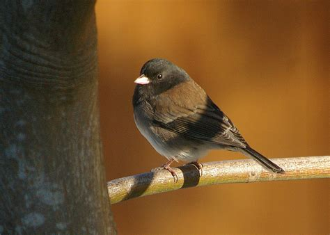 juncos not so ordinary after all fat finch backyard