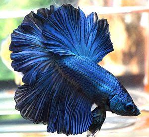 betta colors different color variations of betta fish fish care