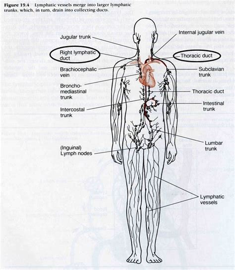 diagram of lymphatic system 20 best nursing school lymphatic system images on