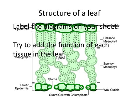 Beschriftung Laubblatt by Gas Exchange In Plants And Xerophytic Adaptations Ppt