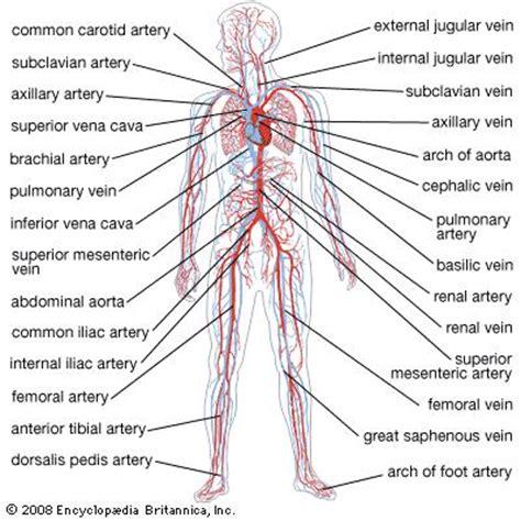 human vascular system diagram circulatory system anatomy britannica