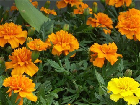 plant d oeillet d inde jardinerie taberner fleurs pr 232 s de
