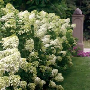 best hydrangeas for full sun locations review