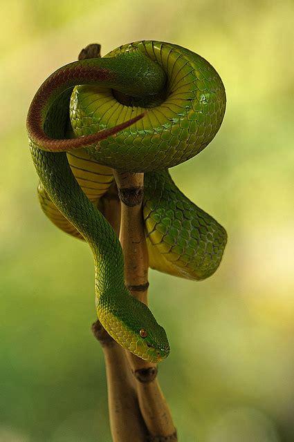 Garden Viper Snake White Lipped Green Pit Viper Highly Venomous Snake