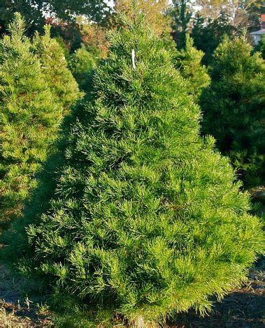 home depot alexandria pine tree types of pine trees the home depot community