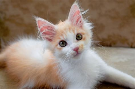 best breeds for cats eight of the best cat breeds for families with pets4homes
