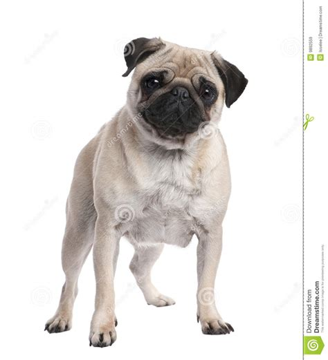 beige pug beige pug standing up in front of the 2 ye royalty free stock images image