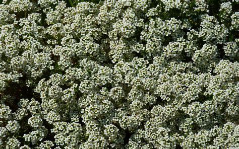 mlewallpapers com sweet alyssum flowers