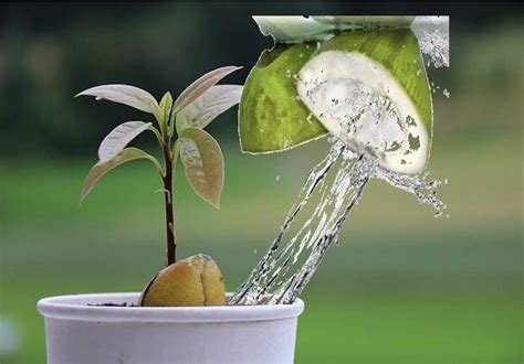 Can You Put Coconut Water In With Your Detox Drinks by Coconut Water Miracle For Plants Growth Kitchen Home