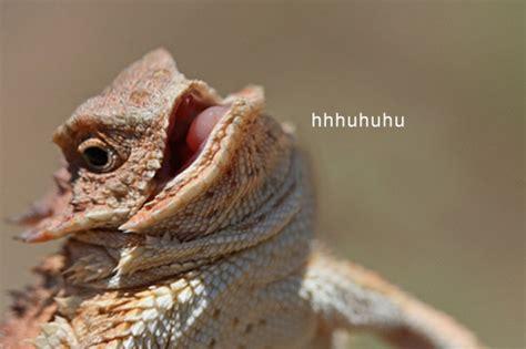 Lizard Meme Hehehe - haiku bearded dragon s lunch 0 08 youtubehaiku