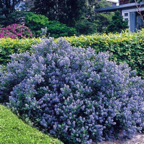 drought tolerant flowering shrubs flowering shrubs hedge 5 hedge plants ceanothus yankee
