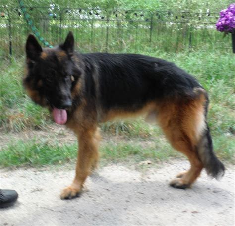 san antonio adoption picture 5 of 8 german shepherd rescue san antonio fresh for adoption rommel