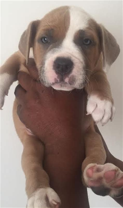 johnson american bulldog puppies johnson type american bulldog puppies morden surrey pets4homes