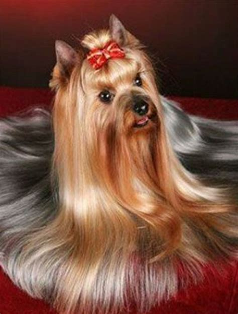 yorkie haircuts for a silky coat lady yorkie beauty in creatures pinterest lady