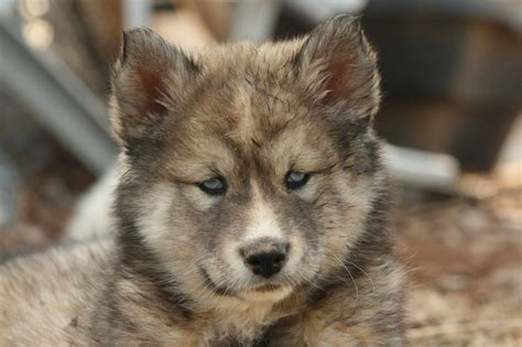 wolfdog puppies blaze the wolf puppy by greensh on deviantart