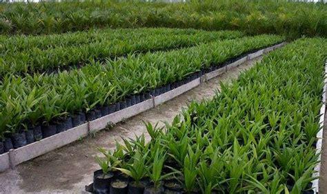 pembibitan pre nursery kelapa sawit pustaka petani