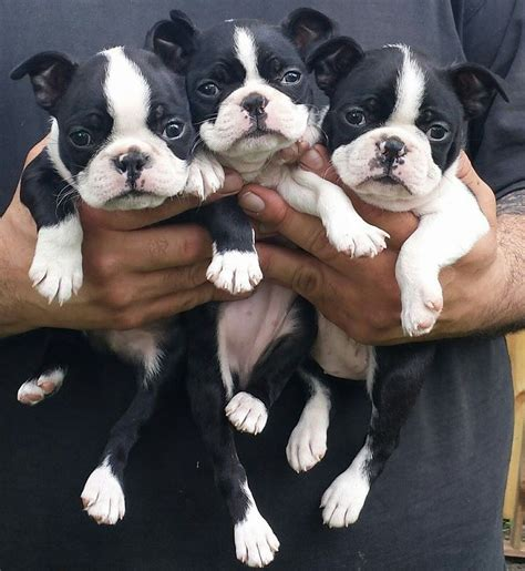 boston terrier puppies maryland 1000 ideas about boston terrier puppies on