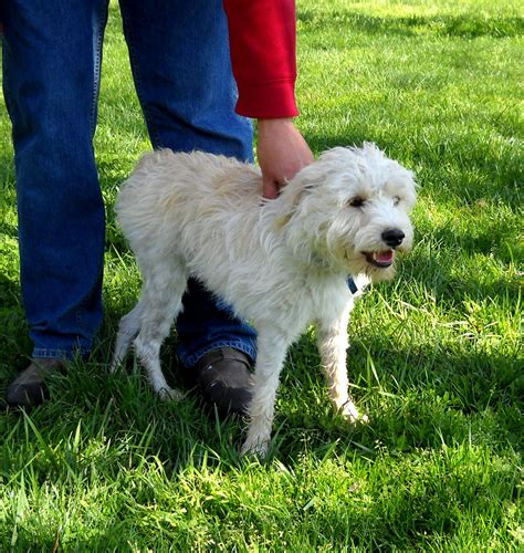 poodle terrier mix lifespan poodle terrier mix photo happy heaven