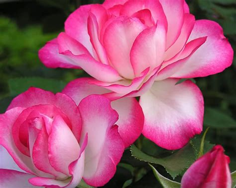 imagenes rosas brillantes hermosas rosas imagens e mensagens p 225 gina 6 recadosonline