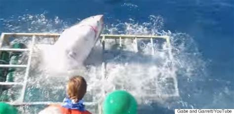 great white shark attacks cage great white shark smashes cage with diver inside