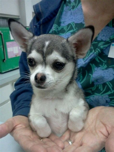 chihuahua husky mix puppies 17 best ideas about husky chihuahua mix on names for puppies