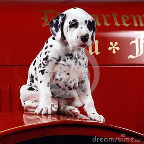 puppy dalmation   fire truck royalty  stock